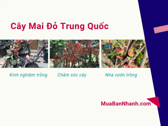 Mua bán cây mai đỏ Trung Quốc – kinh nghiệm trồng và chăm sóc từ nhà vườn trồng mai đỏ trên MuaBanNhanh - cover